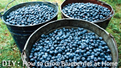 How To Grow Blueberries at Home 1
