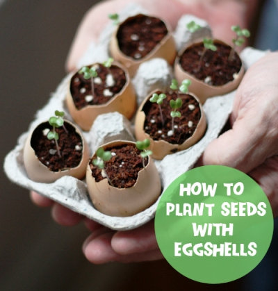 How To Plant Seeds With Egg Shells 1