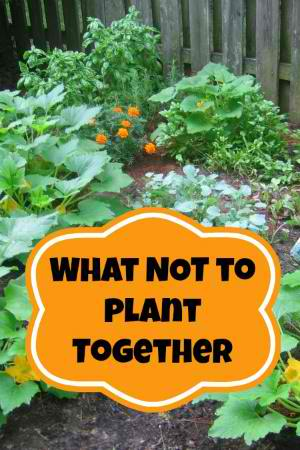 Companion Planting – What Not To Plant Together