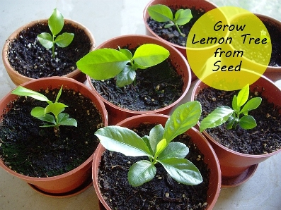 How to grow a lemon tree from seed for Growing a lemon tree in a pot from seed